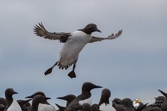 Guillemot (Simon Stobart) Tags: guillemot uria aalge flying north east england uk