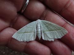 IMG_2061 (belight7) Tags: nature uk england burnham beeches moth dead