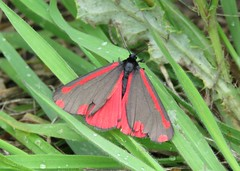 The Cinnabar (marksargeant57) Tags: tyriajacobaeae insect grass undergrowth canonpowershotsx60hs moth cinnabarmoth thecinnabar