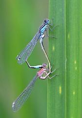 Blue Tailed Damselfly - Michael Bird (Just call me Doc) Tags: bluetaileddamselfly ischnuraelegans damselflies damselfly odonata grandunioncanal mating copulating leicestershire newtonharcourt macro michaelbird f28l canon 100mm