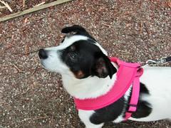 IMG_2059 (belight7) Tags: nature uk england burnham beeches dog cute