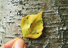 IMG_2064 (belight7) Tags: nature uk england burnham beeches leaf tree bark