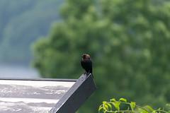 quabbinreservoir2019-140 (gtxjimmy) Tags: nikond7500 nikon d7500 tamron 18400mm spring massachusetts newengland quabbinreservoir swiftrivervalley ware belchertown bird cowbird