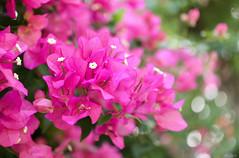 pink bougainvilleas (Christine_S.) Tags: honolulu hawaii magenta waikiki waipuna kalakaua oahu island islands flowers flower bright bokeh canon eos m5 32mm pink garden nature closeup macro ngc npc flowerphotography tropical sunshine sunny hawaiianislands efm32mmf14