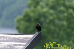 quabbinreservoir2019-138 (gtxjimmy) Tags: nikond7500 nikon d7500 tamron 18400mm spring massachusetts newengland quabbinreservoir swiftrivervalley ware belchertown bird cowbird