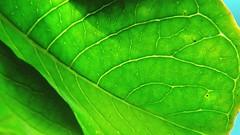Macro Mondays: Curves (Hayseed52) Tags: macromondays curves nature green leaf backside