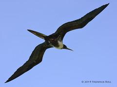 Magnificent Frigatebird [Fregata magnificens] (© Freddie) Tags: aruba oranjestad renaissanceisland bird frigatebird magnificantfrigatebird fjroll ©freddie