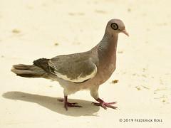 Bare-eyed Pigeon [Patagioenas corensis] (© Freddie) Tags: aruba oranjestad renaissanceisland bird dove pigeon bareeyedpigeon fjroll ©freddie