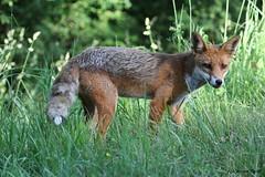 Renard roux (Passion Animaux & Photos) Tags: renard roux red fox wild nature