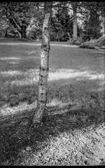 in the shadows, single tree trunk, grasses, Asheville, NC, Voigtlander Vitomatic II, Kodak Rera Pan 400, HC-110 developer, 6.14.19 (steve aimone) Tags: intheshadows shadow treetrunk grass asheville northcarolina vitomatic voigtlandervitomaticii rerapan400 35mm 35mmfilm film rangefinder monochrome monochromatic blackandwhite landscape