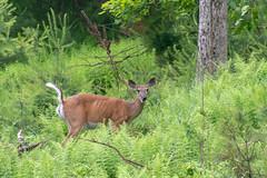 quabbinreservoir2019-151 (gtxjimmy) Tags: nikond7500 nikon d7500 tamron 18400mm spring massachusetts newengland quabbinreservoir swiftrivervalley ware belchertown deer