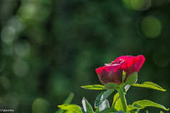 26052019-DSC_0006-Modifier (vidjanma) Tags: fleur 1 bokeh pivoine rouge