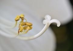 Amaryllis - Mont Blanc (conall..) Tags: amaryllis montblanc hippeastrum curves macromondays curve nikon afs nikkor f18g lens 50mm prime primelens nikonafsnikkorf18g closeup raynox dcr250 macro botanic park belfast southbelfast northernireland anther stigma flower