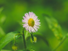 Flower Macro Bokeh | 16. Juni 2019 | Schleswig-Holstein - Deutschland (torstenbehrens) Tags: flower macro bokeh | 16 juni 2019 schleswigholstein deutschland olympus penf m45mm f18