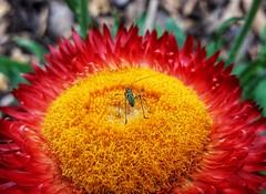 Gelbe Bühne (anitalemmert) Tags: flower blume blüte blossom insekt trockenblume samsung mobile yellow red heupferd nymph