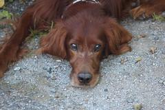 Irish Setter Cute Face (lctsim) Tags: irish setter animal pet brown