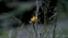 Löwenzahn im Gras (dl1ydn) Tags: dl1ydn grass garden löwenzahn kilfitt makrokilar 90mmf28 bokeh dandelion manual manuell garten blossom blüten yello