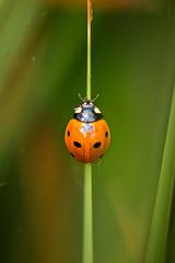 Ladybug (holgerreinert) Tags: 2019 gx80 insect insekt juni mzuiko60mm wohnanlage
