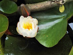 IMG_2080 (belight7) Tags: burnham beeches uk england lilly pond flower water