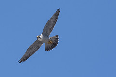 (The Transit Photographer) Tags: birds raptors inflight falcons peregrinefalcons wildperegrinefalcons thehappycouple female wilma mum akaginger