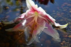 DSC_6039 (griecocathy) Tags: macro eau fleur lys étamines reflet bille argile éclat blanc rose marron oranger