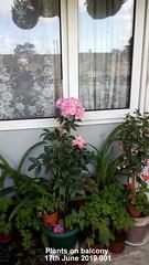 Plants on balcony 17th June 2019 001 (D@viD_2.011) Tags: plants balcony 17th june 2019