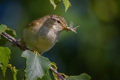Chiffchaff (David Brooker) Tags: chiffchaff bird warbler insects food phylloscopus collybita