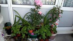 Plants on balcony 17th June 2019 004 (D@viD_2.011) Tags: plants balcony 17th june 2019