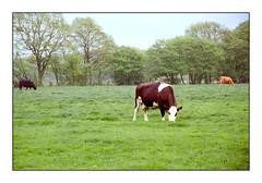 Graveney Cows (exreuterman) Tags: film kodak ektar100 scan vuescan v600 epson