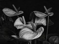 Anthurium Flowers In Black And White (Bill Gracey 23 Million Views) Tags: anthurium flowers flores fleur blackandwhite darkbackground silverefexpro blancoynegro noiretblanc lastoliteezbox softbox sidelighting delmarfair sandiegocountyfair shapes textures contrast