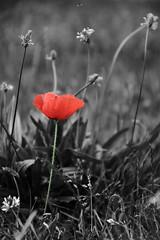 Coquelicot nouveau ! (Tonton Gilles) Tags: noir et blanc coquelicot partiel rouge vert gris photo rapprochée proxiphoto proxiphotographie herbes herbe fleur pelouse