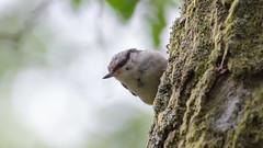 Hello! (Lars Emil J) Tags: norway norge birds bird summer nikon nikkor 200400mm spettmeis eurasian nuthatch sitta europaea forest wood trees