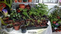 Plants on balcony 17th June 2019 003 (D@viD_2.011) Tags: plants balcony 17th june 2019