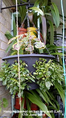 Hanging basket on balcony wall (Left) 17th June 2019 (D@viD_2.011) Tags: hanging basket balcony wall left 17th june 2019