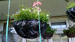 Hanging baskets on balcony 17th June 2019 002 (D@viD_2.011) Tags: hanging baskets balcony 17th june 2019