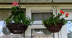 Hanging baskets on balcony 17th June 2019 004 (D@viD_2.011) Tags: hanging baskets balcony 17th june 2019