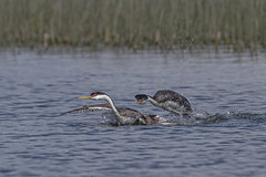 Western Grebes (Peter Stahl Photography) Tags: islelake westerngrebe wildlife spring pair water bird waterfowl r