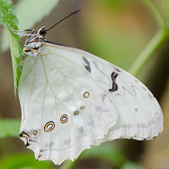 White beauty (Rene Mensen) Tags: beauty butterfly vlinder vlindertuin wildlands nikon nikkor nature emmen white wings insect