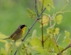 Common Yellowthroat (Little Frieda) Tags: warbler