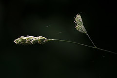 IMG_0018 Wild Grass Seeds (oldimageshoppe) Tags: weed wildgrass seedhead spiderwebs sunshine shadows spring