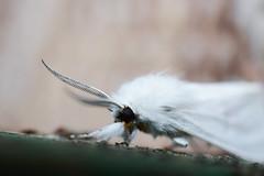 White Moth (K. McMahon) Tags: antennae beverly bug chicago chicagowildlife closeup f fuzz illinois insect macro moth nature southside spilosomavirginica virginiatigermoth whitemoth wildlife wings yellowbear yellowwoollybear yellowwoollybearmoth