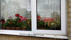 Geraniums in bedroom window from outside 17th June 2019 (D@viD_2.011) Tags: geraniums bedroom window from outside 17th june 2019