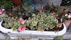 Variegated Geraniums (Green & white) on balcony from outside 17th June 2019 (D@viD_2.011) Tags: variegated geraniums green white balcony from outside 17th june 2019