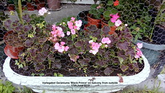 Variegated Geraniums 'Black Prince' on balcony from outside 17th June 2019 (D@viD_2.011) Tags: variegated geraniums black prince balcony from outside 17th june 2019