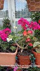 Geranium (Single red) on balcony railings 17th June 2019 001 (D@viD_2.011) Tags: geranium single red balcony railings 17th june 2019