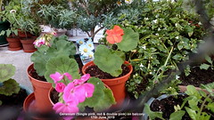 Geranium (Single pink, red & double pink) on balcony 17th June 2019 (D@viD_2.011) Tags: geraniumsinglepink reddoublepinkonbalcony17thjune2019