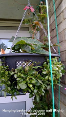 Hanging basket on balcony wall (Right) 17th June 2019 (D@viD_2.011) Tags: hanging basket balcony wall right 17th june 2019