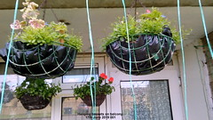 Hanging baskets on balcony 17th June 2019 001 (D@viD_2.011) Tags: hanging baskets balcony 17th june 2019