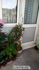 Plants on balcony 17th June 2019 002 (D@viD_2.011) Tags: plants balcony 17th june 2019