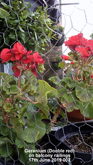 Geranium (Double red) on balcony railings 17th June 2019 002 (D@viD_2.011) Tags: geranium double red balcony railings 17th june 2019